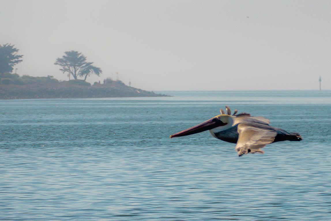 White pelican in flight NFT