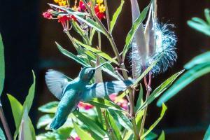 backyard hummingbird NFT
