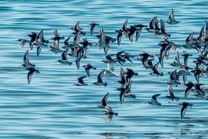 Swallows take flight in Alameda - NFT